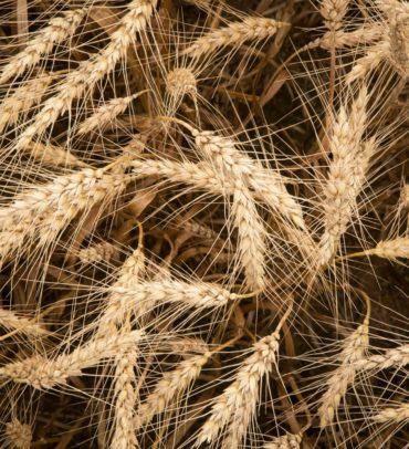 New Crop Soft Winter Wheat Update