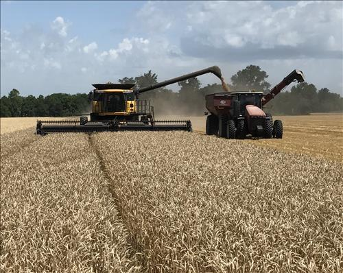 Wheat Harvest Starts Early for Berg Farm